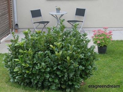 Prunus laurocerasus 'Etna'2