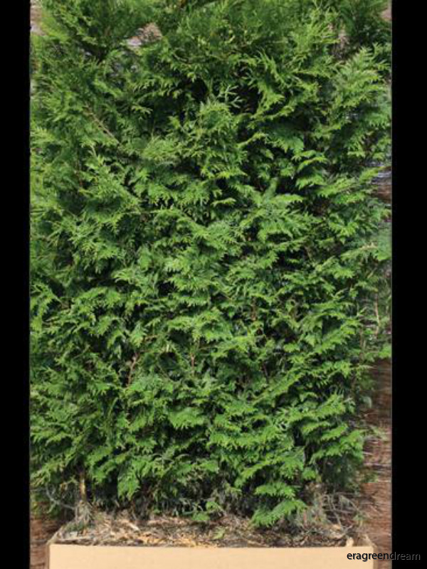thuja_plicata_martin_1_element