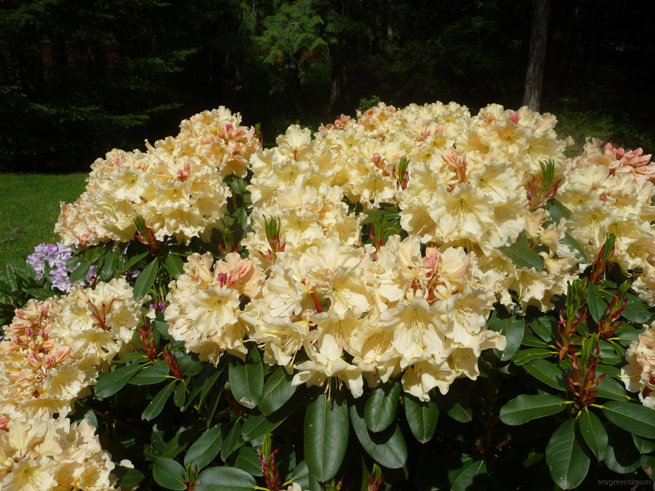 Rhododendron ' Horizon Monarch'