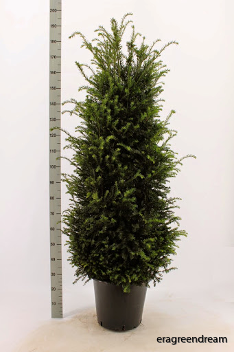 Taxus baccata 140-160