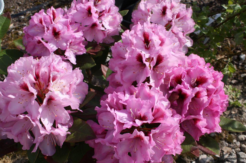 Rhododendron ' Kokardia'