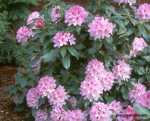 Rhododendron ' Cheer'-
