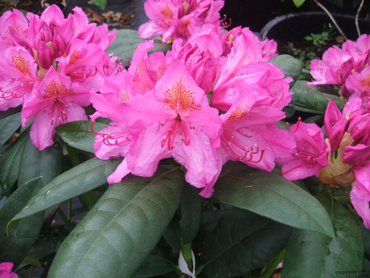 Rhododendron ' Delta'-