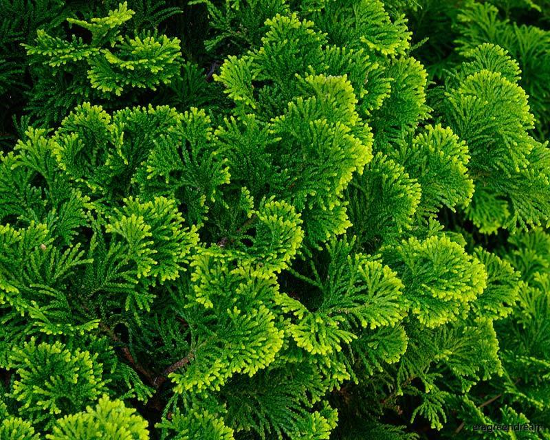 Chamaecyparis obtusa 'Nana Gracilis' 1