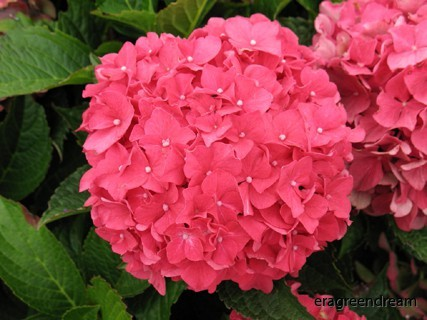 Hydrangea Forever & Ever Red&_ever_red