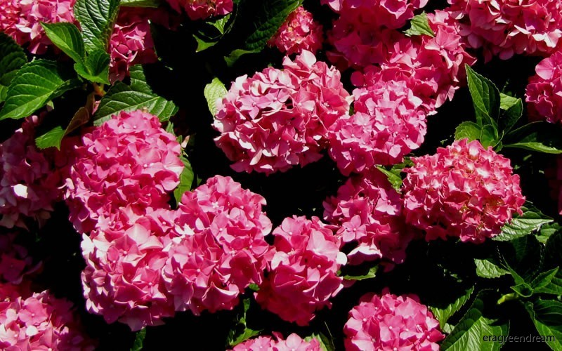 Hydrangea Forever & Ever Red