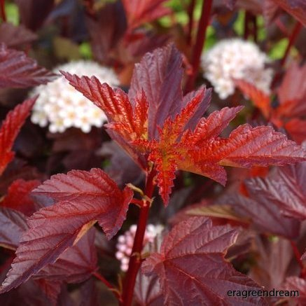 Phsocarpus opulifolius 'Diable d'or' 1