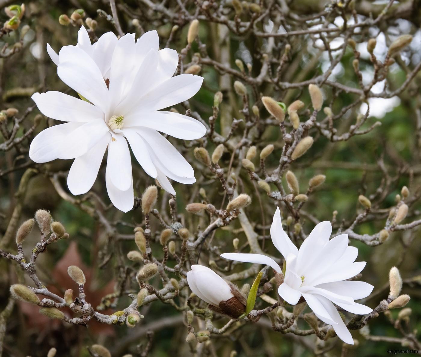 Magnolia stellata blomma