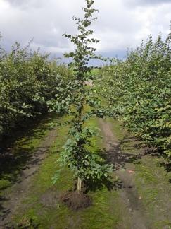 Carpinus betulus/ Avenbok jordklump - med stöd/väl grenad 100-125 cm med kl. 1+2+2