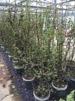 Carpinus betulus/ Avenbok krukodlad - Multistam 175-200 cm C20 2 planta/m