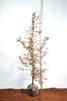 Carpinus betulus/ Avenbok jordklump