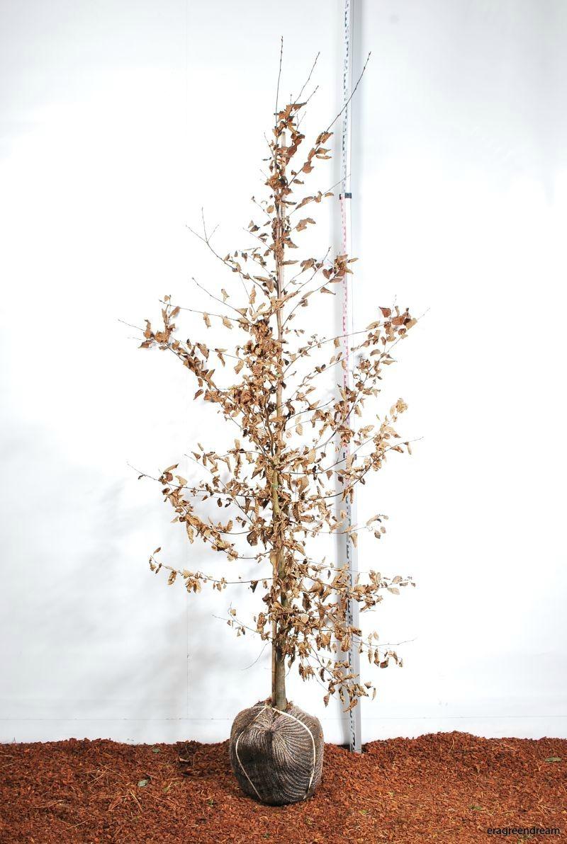 Carpinus Betulus 175-200