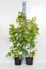 Carpinus betulus/ Avenbok krukodlad - 80-100 cm C2,5
