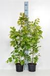 Carpinus betulus/ Avenbok krukodlad