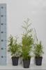 Thuja occ. Brabant 15-20 cm eller 20-30 cm i kruka - 15-20 cm 300 stycken