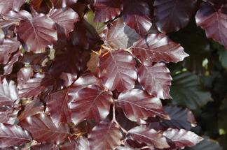 Fagus sylvatica Atropunicea / Blodbok Bar-rotade