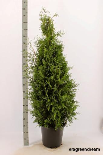 Thuja occ. Brabant 150-175 cm