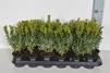 Buxus sempervirens/ Buxbom ( häck ) - 25-30 cm P9