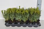 Buxus sempervirens 25-30 cm p9 100 stycken