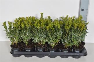 Buxus sempervirens 25-30 cm p9 100 stycken - 25-30 cm p9