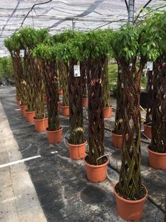 Salix Harlekin / Nordiska palmer