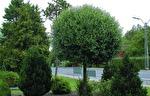 Prunus x eminens 'Umbraculifera' / Klotkörsbär