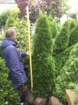 Thuja occ. Smaragd 175 cm + jordklump