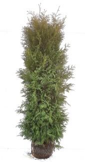 100 stycken Thuja occ. Brabant 180-200 cm med klump