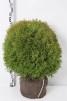 Thuja occ. 'Little Giant' - 50-60 cm med klump