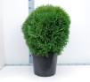 Thuja occ. 'Little Giant' - 50-60 cm C12/C15
