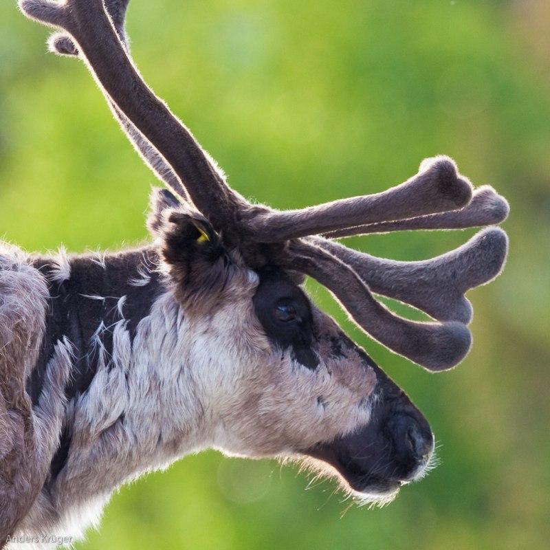 Rein deer