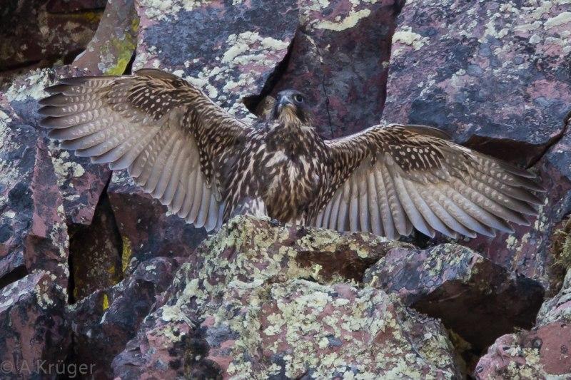 Gyr falcon (Jaktfalk)