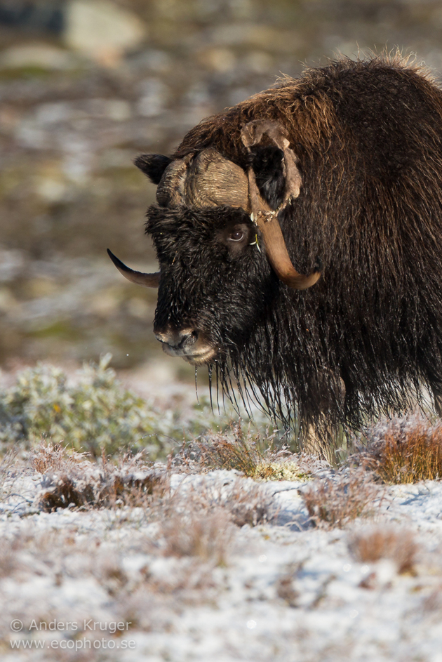 A nice bull in wonderful morning light after this autum's first snowfalls.