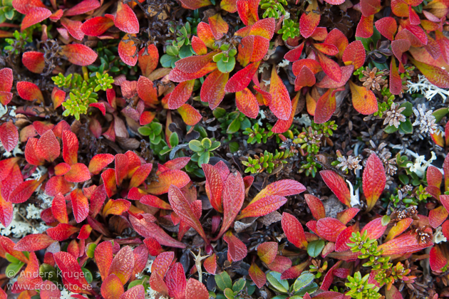 Mountain bearberries (Arctostaphylos alpinus) coloured red due to the cold.