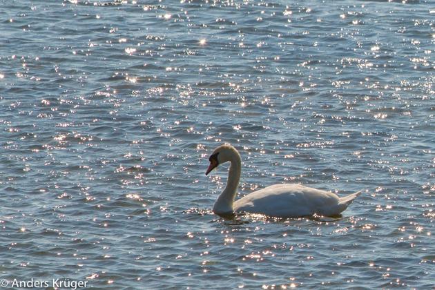 Swan in glittering water