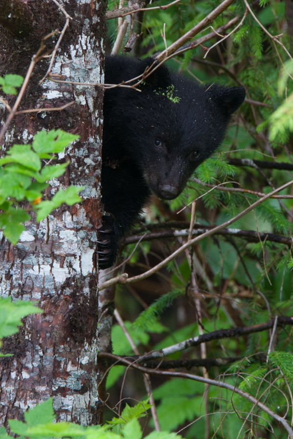 A couple of year old photo of a black bear cub from the remote northern Vancouver island.