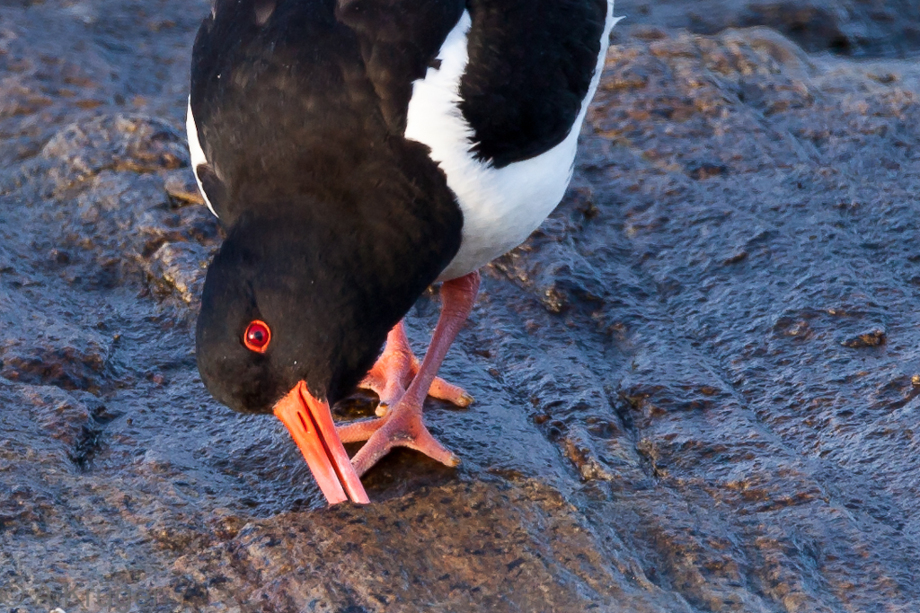 Oyster catcher investigating a stone crack for food