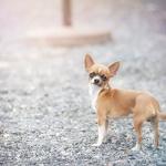 Chihuahuan Fabian