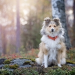 Shetland sheepdog Lucky