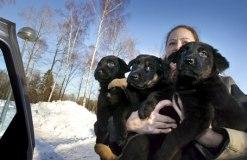 Foto: Johanna Eriksson Camilla Henningsson från Hundomplaceringsverksamheten har famnen full av valpar. De tre valparna och deras fyra syskon hittades övergivna i en container.