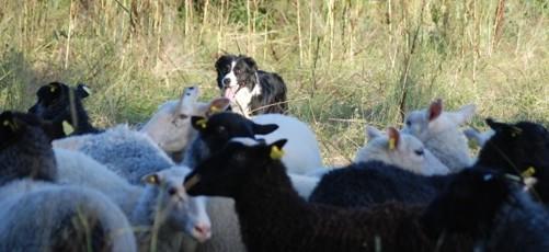 Wii hos fåren