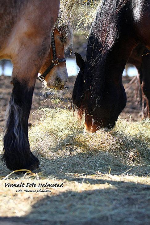 Skallinge Gårds hästar mumsar hö