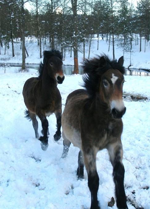 Skallinge Gårds turridningshästar Frida och Fanny vinterbusar i Simlångsdalen, Halland