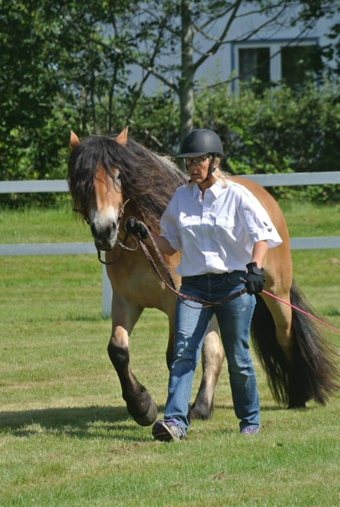 För att en häst ska kunna visar upp på bästa sätt krävs träning. Läs de goda råden från Jenny Sigvaardsdotter från pdf filen nedan! Foto: Rosmarie Eriksson