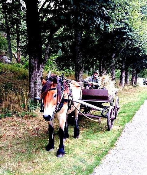 Nordsvensken Valle och ägare och kusk Ulf Svärd arbetade i helgen på Tjolöholms slott. Foto: Ing-Marie Svärd