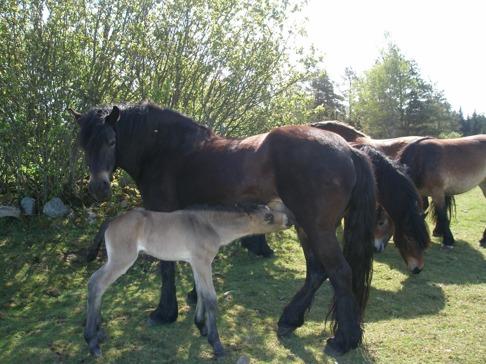 Nordsvenska brukshästen Gimo och sin mamma Molly