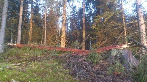 Plockepinn på spridda platser i vår skog lämnade Gorm efter sig. Vi är tacksamma att det ej blev fler träd som föll.