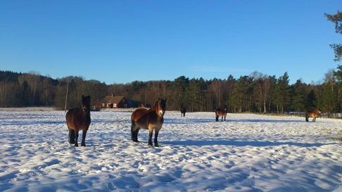 Hästarna står och solar sig, välutspridda i hela hagen.