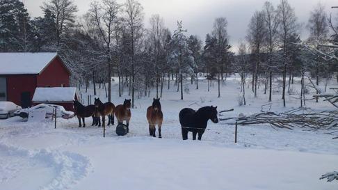 Vinter hos hästarna på Skallinge Gård, -20