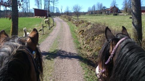 Liiv och Frida är lika nyfikna som alpackorna är på hästarna.